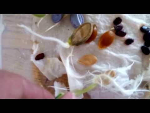 Подготовка семян кабачков к посеву
