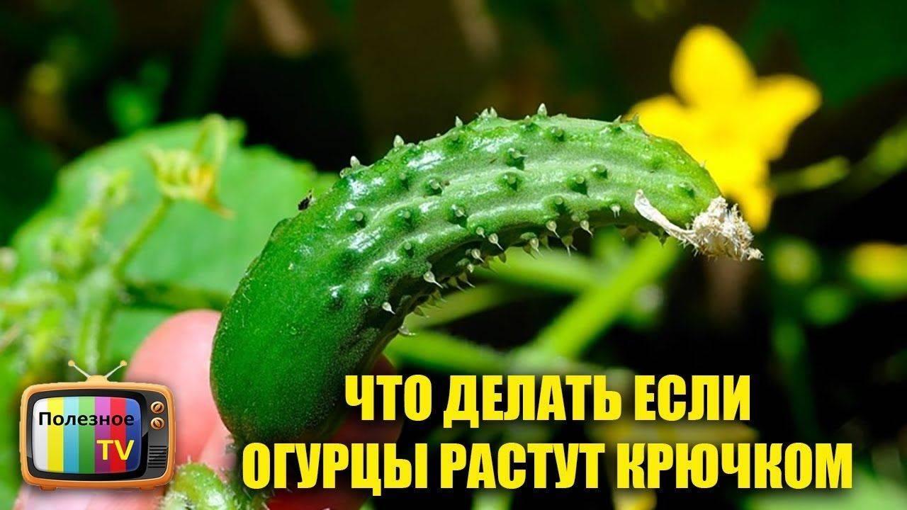 Почему огурцы растут крючком в теплице