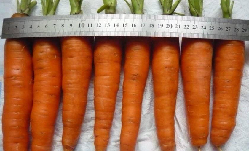 Описание сорта нантская 4: морковь c двойным содержанием каротина