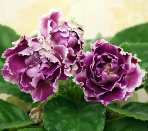 Фиалка ле-роза ветров (25 фото): описание сорта сенполии, выращивание