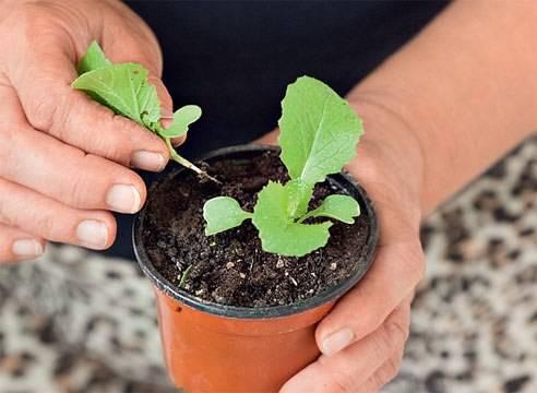Выращивание рассады капусты в домашних условиях: пошаговое руководство