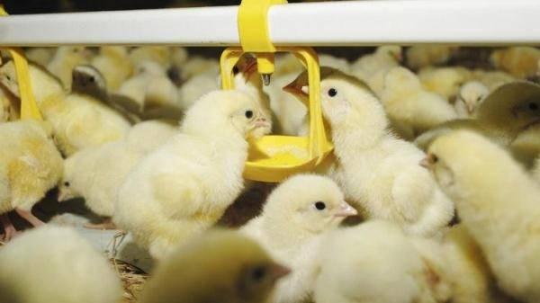 О чиктонике для цыплят, бройлеров, кур (инструкция по применению)