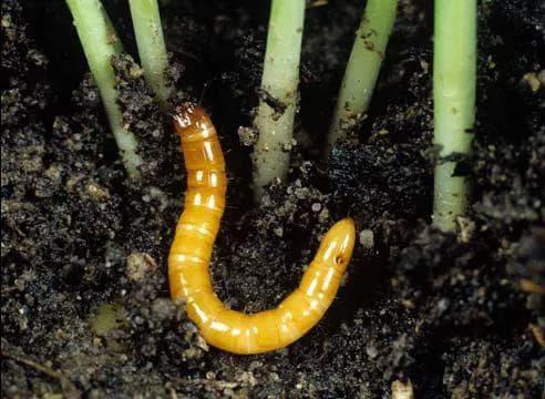 Как избавиться от проволочника в картошке: борьба на огороде, поле, дачном и садовом участке