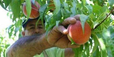Причины курчавости листьев персика: лечение, почему начинают скручиваться