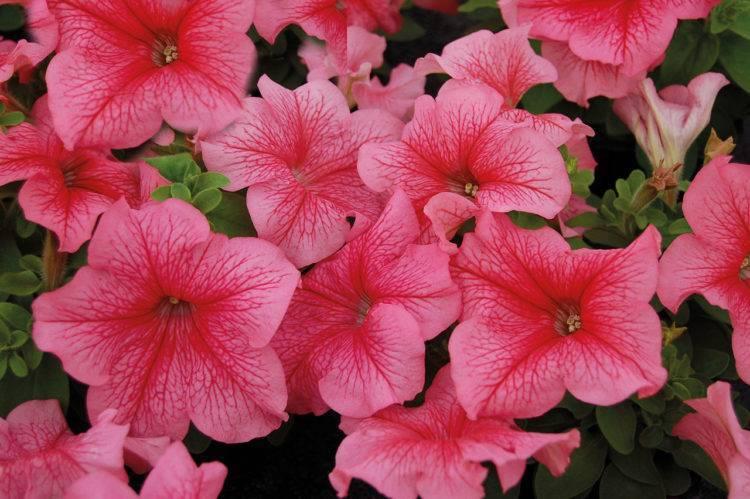Как собирать семена петунии и выращивать из них цветы?