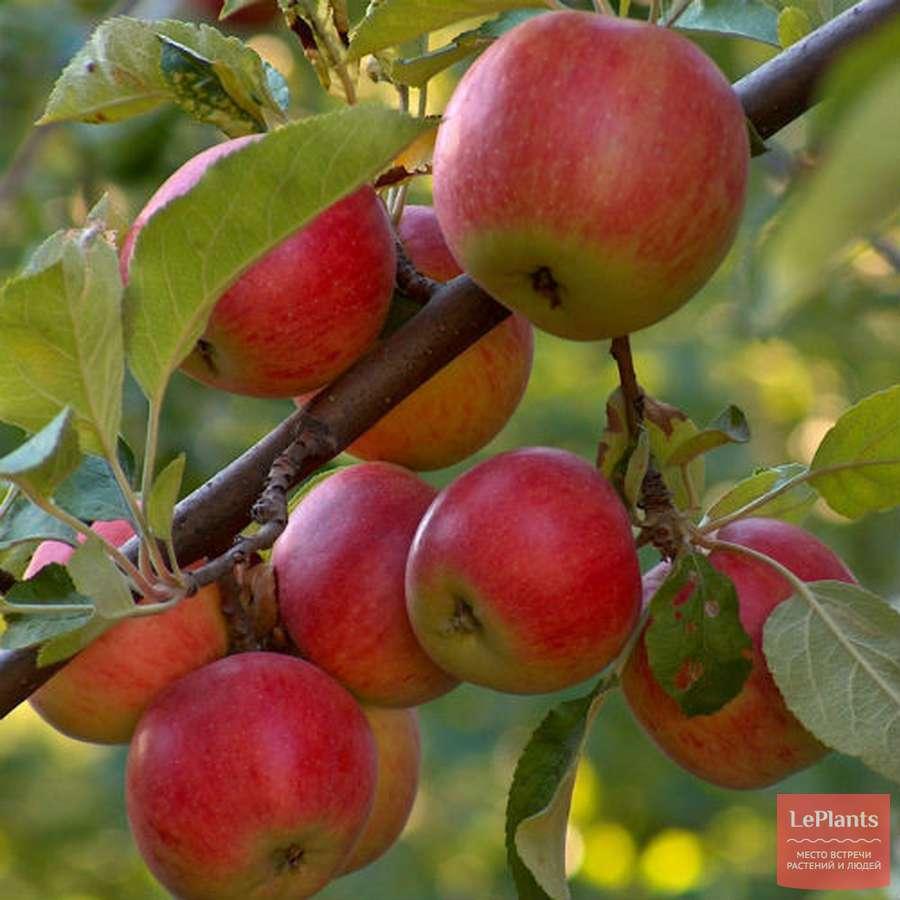 Яблоня боровинка: особенности сорта и ухода