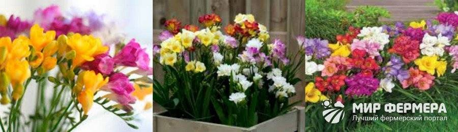 Фрезия выращивание и уход в домашних условиях и в саду
