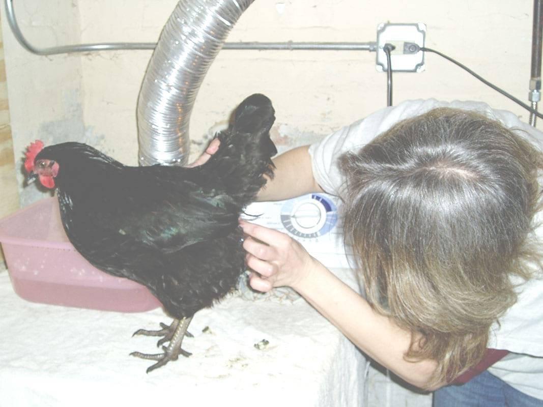 Выпадение яйцевода у куриц — причины, симптомы и лечение