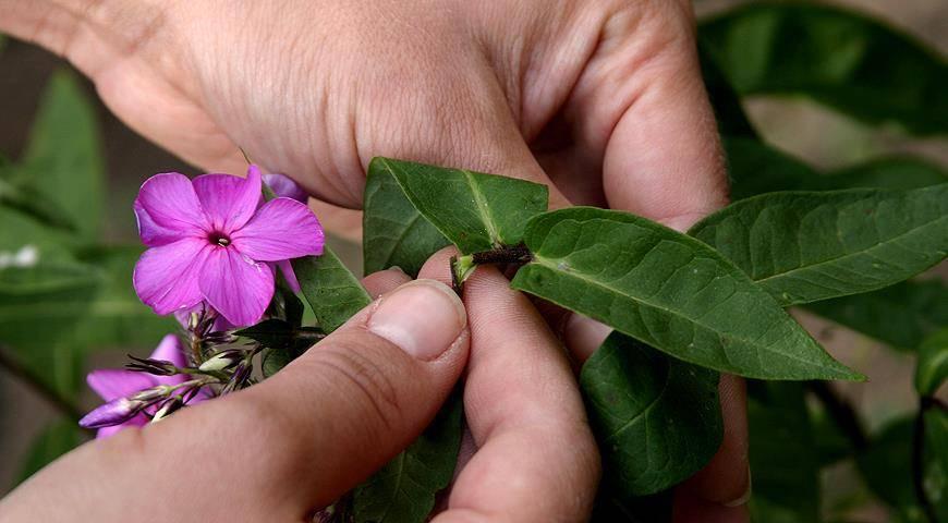 Флоксы многолетние – как размножить черенками - каталог статей на сайте - домстрой