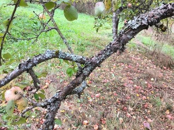 Лишайники на деревьях. как от них избавиться и надо ли?