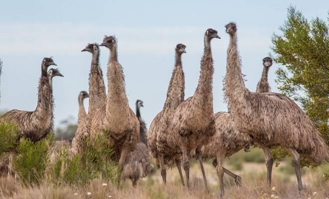 Чем необычен страус эму, где обитает птица