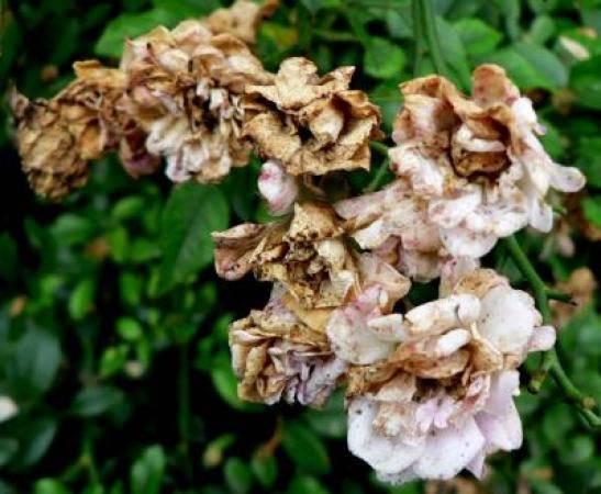 Болезни комнатной розы: белый налет, паутинные клещи