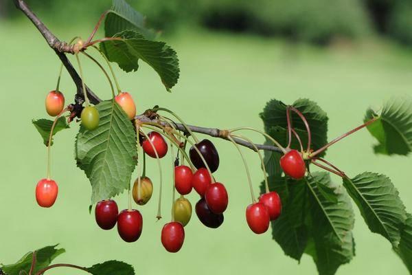 8 главных причин опадания завязи вишни и методы борьбы