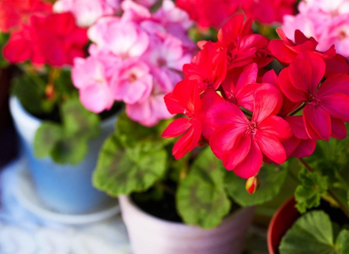 Все о пеларгонии (что это такое, лечебные свойства цветка, правила ухода)