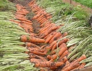 Посадка моркови весной посев когда сеять как сажать правильно