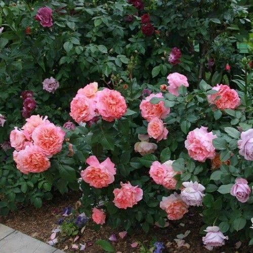 Роза августа луиза – роскошная аристократка