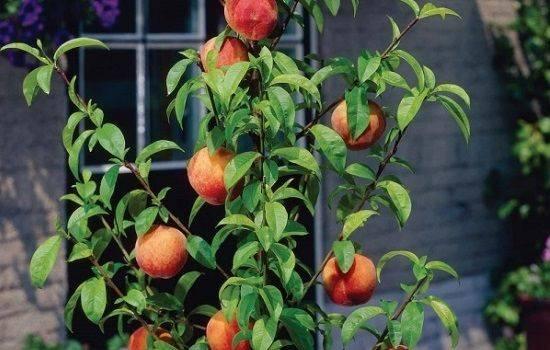Персик: выращивание из косточки в домашних условиях, особенности ухода для средней полосы и других регионов | (фото & видео) +отзывы