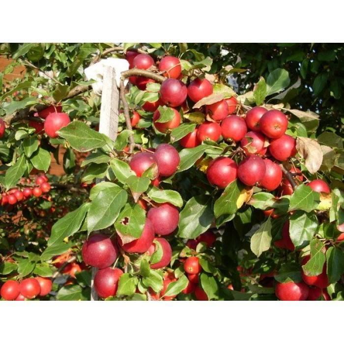 О яблоне Пионерка: описание и характеристики сорта, уход и выращивание