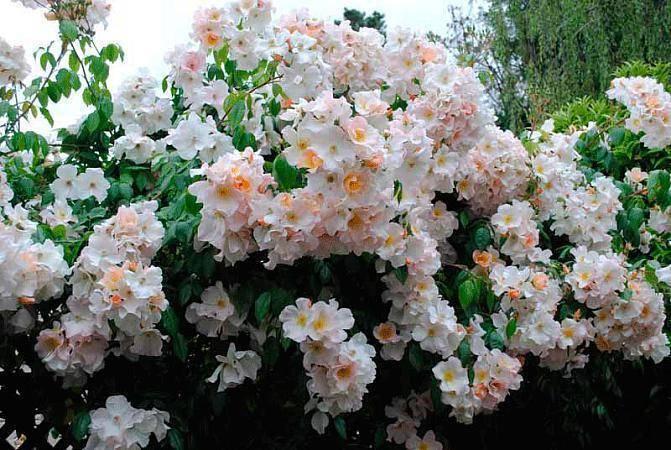 Мускусные розы: описание, сорта, посадка и уход, болезни и вредители