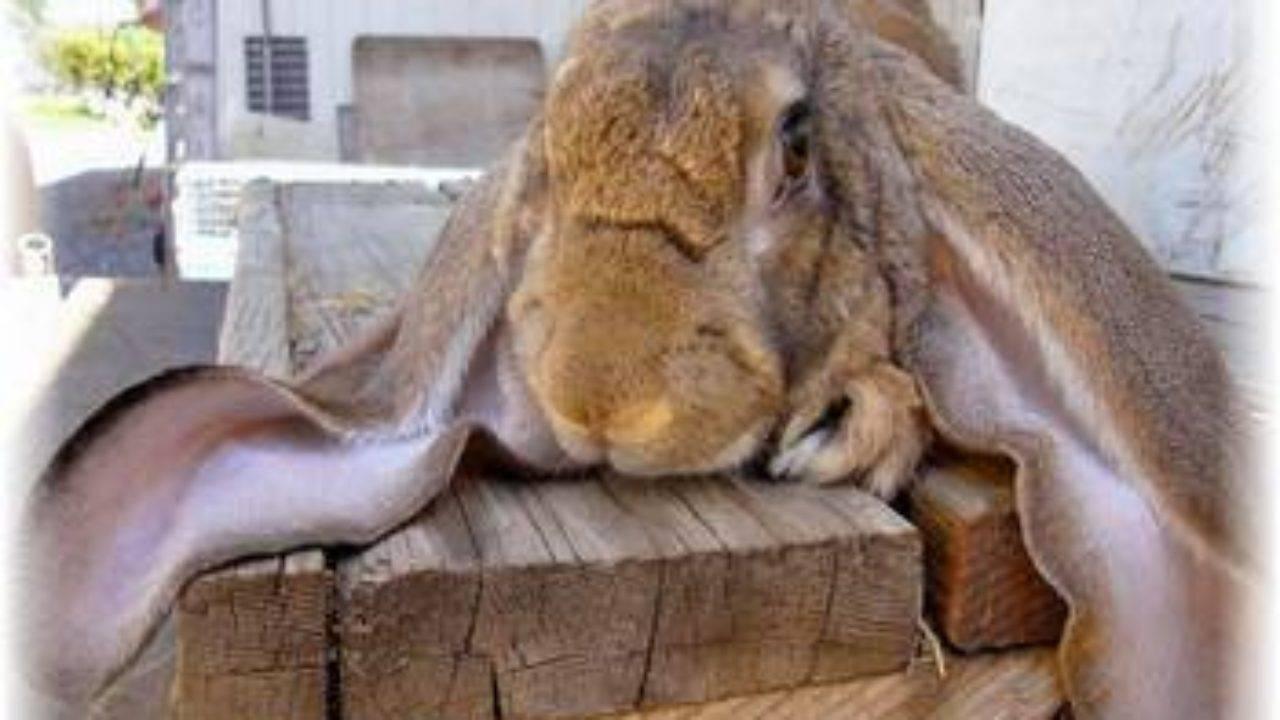 Виды ушных болезней у кроликов и варианты их лечения