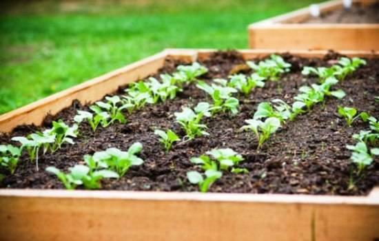 Выращиваем редис: маленькие хитрости