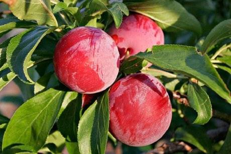 Сливово-вишневые гибриды