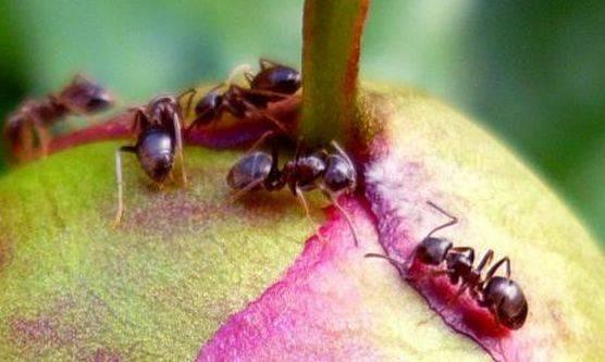 Как избавиться от муравьев на пионах: 3 способа