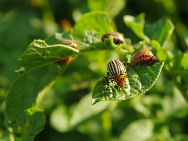 Обязательно ли обрабатывать луковицы и корнеплоды перед посадкой
