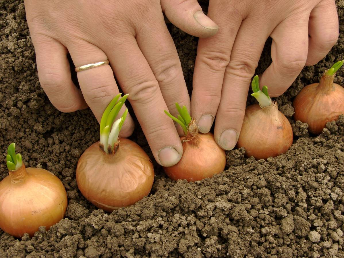 Правильная весенняя апрельская посадка лука севка — как садить лук на зелень, очень крупные головки.