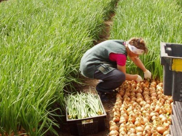 Технология выращивания лука на перо в теплице: сколько растет и как выращивают лук на зелень зимой?