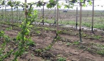 Весенняя обрезка и формирование кустов ежевики: как правильно делать