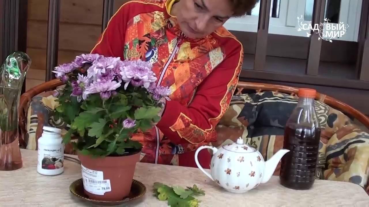 Об уходе за хризантемой осенью, подготовка растения к зиме, сохранение