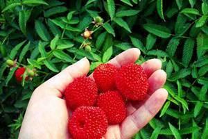 Гибрид малины и клубники как выглядит куст – малиноклубника описание и фото