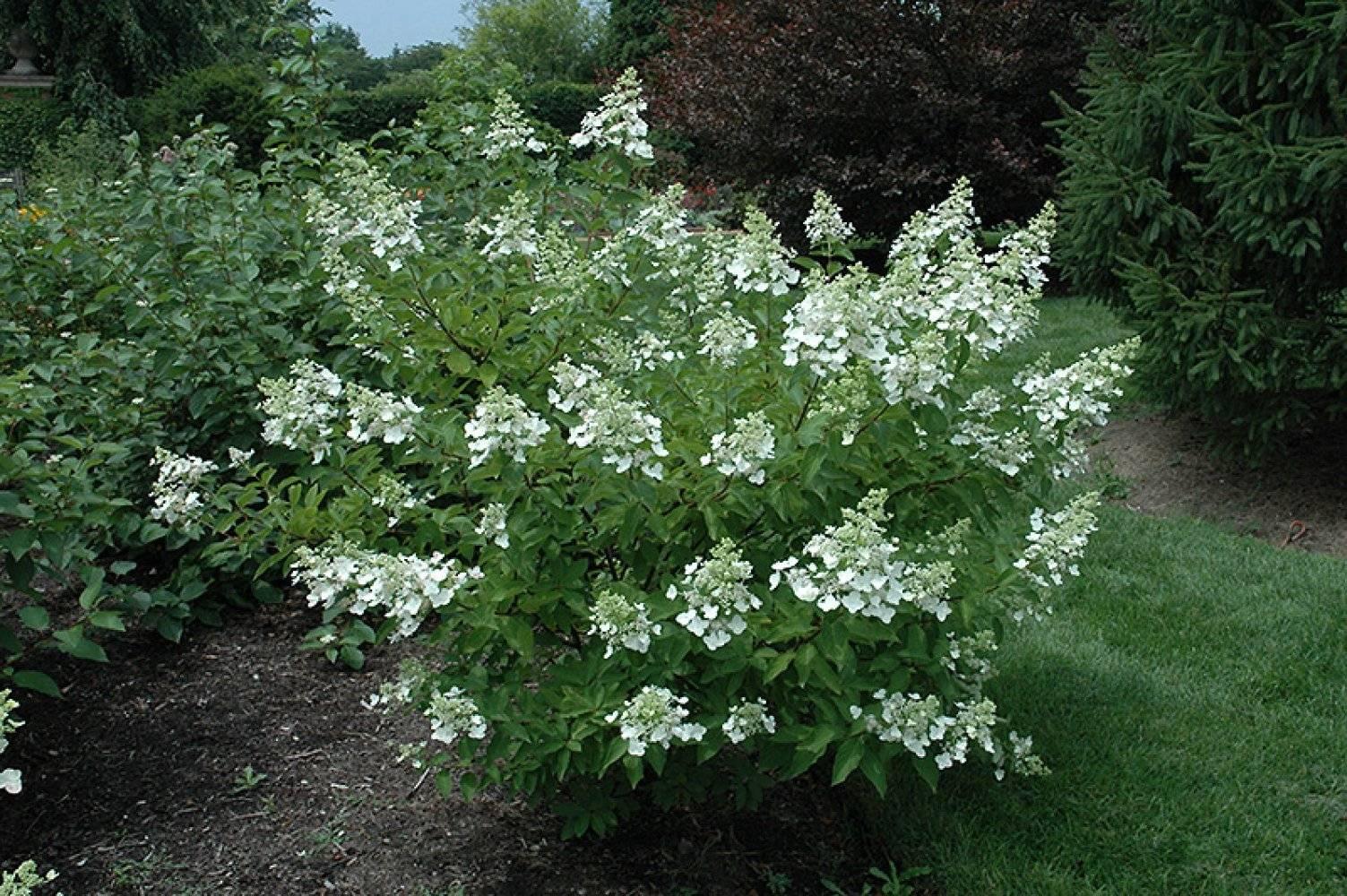 Садовая гортензия: обзор видов, описание сортов и правила выращивания