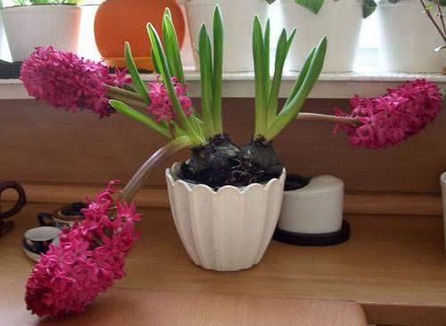 Эффективный уход за гиацинтом в домашних условиях: как ухаживать за растением в горшке