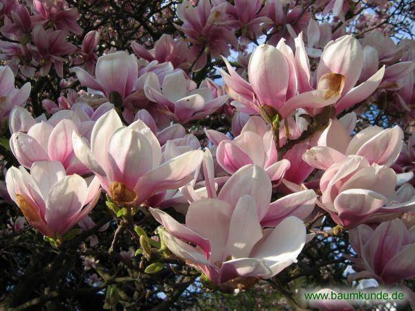 Магнолия крупноцветковая: лечебные свойства и применение