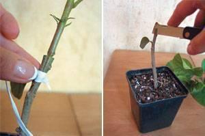 Размножение, посадка и дальнейший уход за гибискусами в доме и саду. как выглядит на фото цветок смерти?