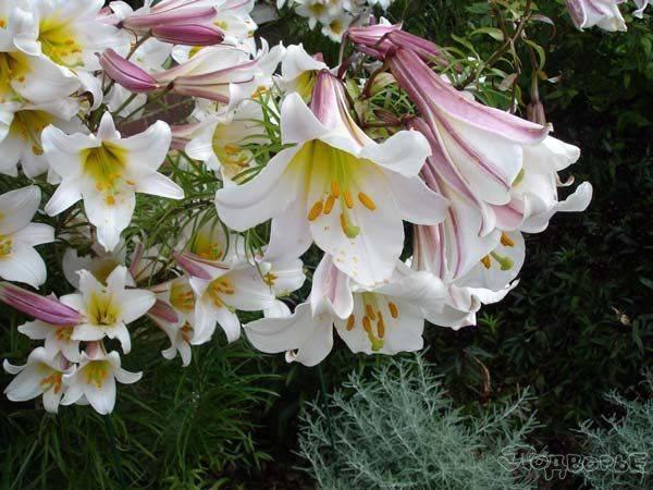 Белая лилия кандидум или цветок мадонны. | ароматы и цветы для здоровья-красоты