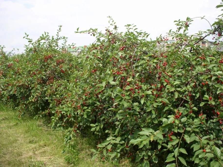 Особенности сорта вишни тамарис