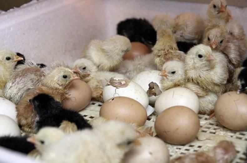 Таинство рождения цыпленка