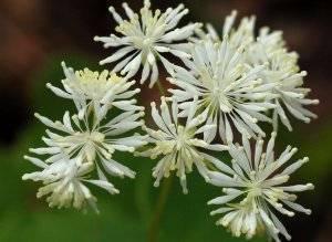Василистник – неприхотливый красавец в саду. посадка, уход и сорта.