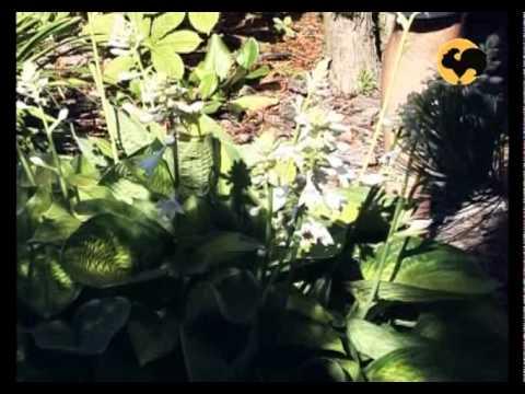 О хостах в саду, на клумбах, альпийской горке (сочетание, ландшафтные хитрости)