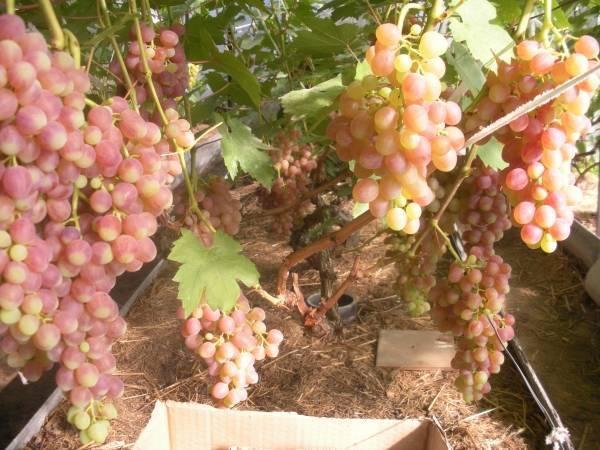 Миджлис пёрпл сидлис — сорт винограда