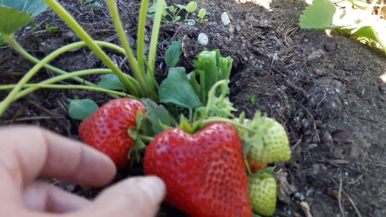 О сорте клубники тристан: описание, агротехника выращивания, как ухаживать