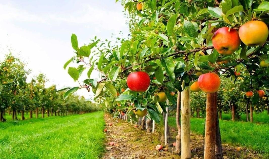 Весенняя посадка плодового дерева в открытый грунт: как правильно высаживать саженцы