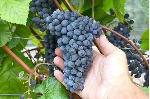 Подробное описание амурского винограда: виды, характеристики, фото и отзывы
