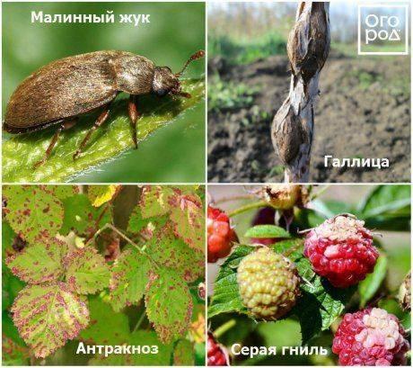 Весенняя обработка и опрыскивание малины от болезней и вредителей