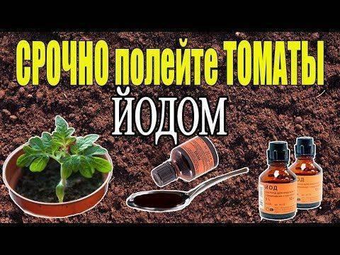 Подкормка рассады томатов и перца народными средствами
