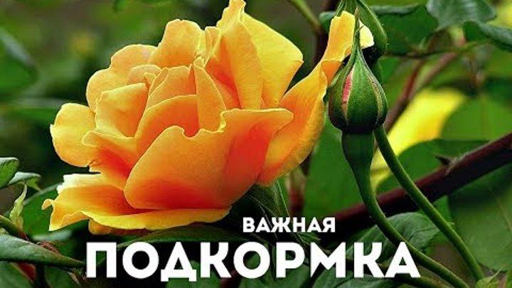 Чем подкормить розы весной для пышного цветения