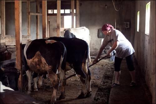 Коровник своими руками: пошаговая инструкция по строительству